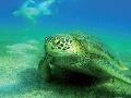 Korytnačky sú bežnými obyvateľkami