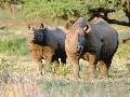 Majestátnych nosorožcov uvidíte v