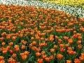 Tulipány sú symbolom Holandska