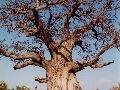 Baobab, Botswana