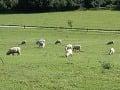Novozélandské ovce Romney
