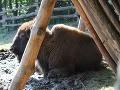 Severoamerický bizón