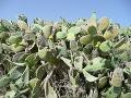 Malta - kvitnúce kaktusy