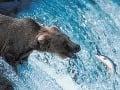 Medveďa loviaceho ryby, obzvlášť