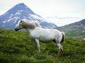 Islandské kone majú takzvaný