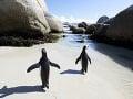 Tučniaky africké, Pláž Boulders,