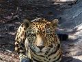 Jaguár v Belize ZOO,