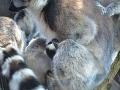 Mláďa lemura kata