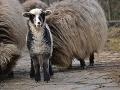 Mláďa ovce domácej-valašky