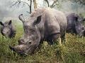 White Rhinos - Biele