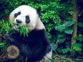 Panda sa vďaka svojmu