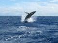 Vráskavec obrovský dorastá do