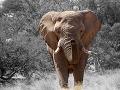 Slon v Namíbii