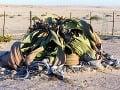 Takáto veľká welwitschia môže