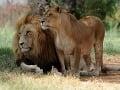 Dospelý Simba s družkou