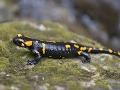 Salamandra škvrnitá na dne