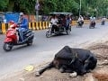Na snímke pouličná krava
