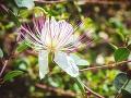 Kvet kapary