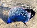Medúza mechúrová