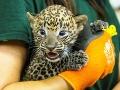 Na snímke novonarodený leopard