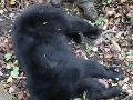 Medvedie mláďa chodilo po