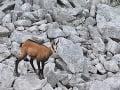 Kamzíky vrchovské tatranské (Rupicapra