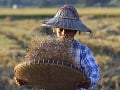 Farmárka pracuje počas zberu