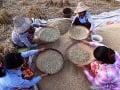 Farmári pracujú počas zberu