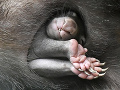 Vombatie mláďa