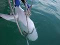 Žraloky v Izraeli láka