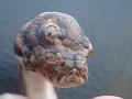 Trojoký had