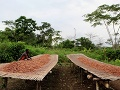 Sušenie kakaových bôbov, dedina
