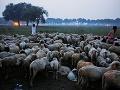 Indickí pastieri zháňajú ovce