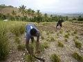 Muži na vetiverových poliach