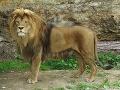 Lev berberský (Panthera leo