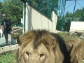 Lev berberský chovaný v