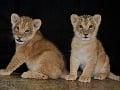 Rok 2015_Mláďatá leva berberského