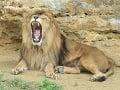 Lev berberský sa používal