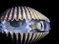 Chobotnica druhu Amphioctopus marginatus