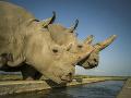 Nosorožce v Keni