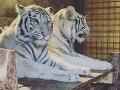 Bengálsky tiger