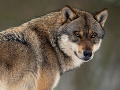 Vlk dravý (Canis lupus)
