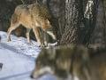 Vlk eurázijský vo výbehu