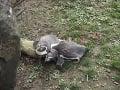 Tučniaky v pražskej ZOO