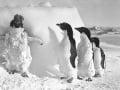 Tučniaky okaté