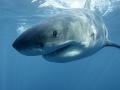 Veľký biely žralok, záber