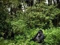 Gorilí samec Segasira sedí