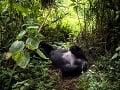 Gorila Segasira ležiaca pod