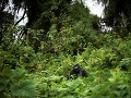 Gorila Pato sedí v