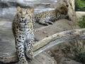 Leopard škvrnitý amurský